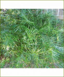 Narrow Leaf Zamia Angustifolia 24 Inch