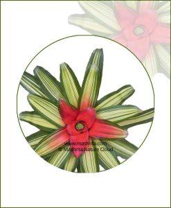 Neoregelia-Carolinae-Tricolor-Online-Plant-Nursery