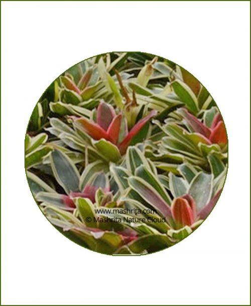 Neoregelia-Filanda-Online-Plant-Nursery