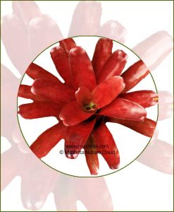 Neoregelia-Fireball-Online-Plant-Nursery