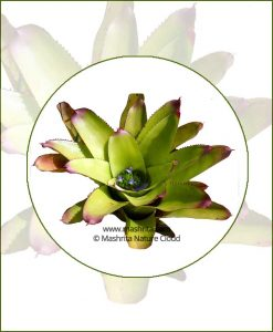 Neoregelia-Spectabilis-Online-Plant-Nursery