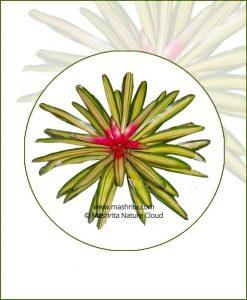 Nidularium-Carolinae-Marechalli-Online-Plant-Nursery