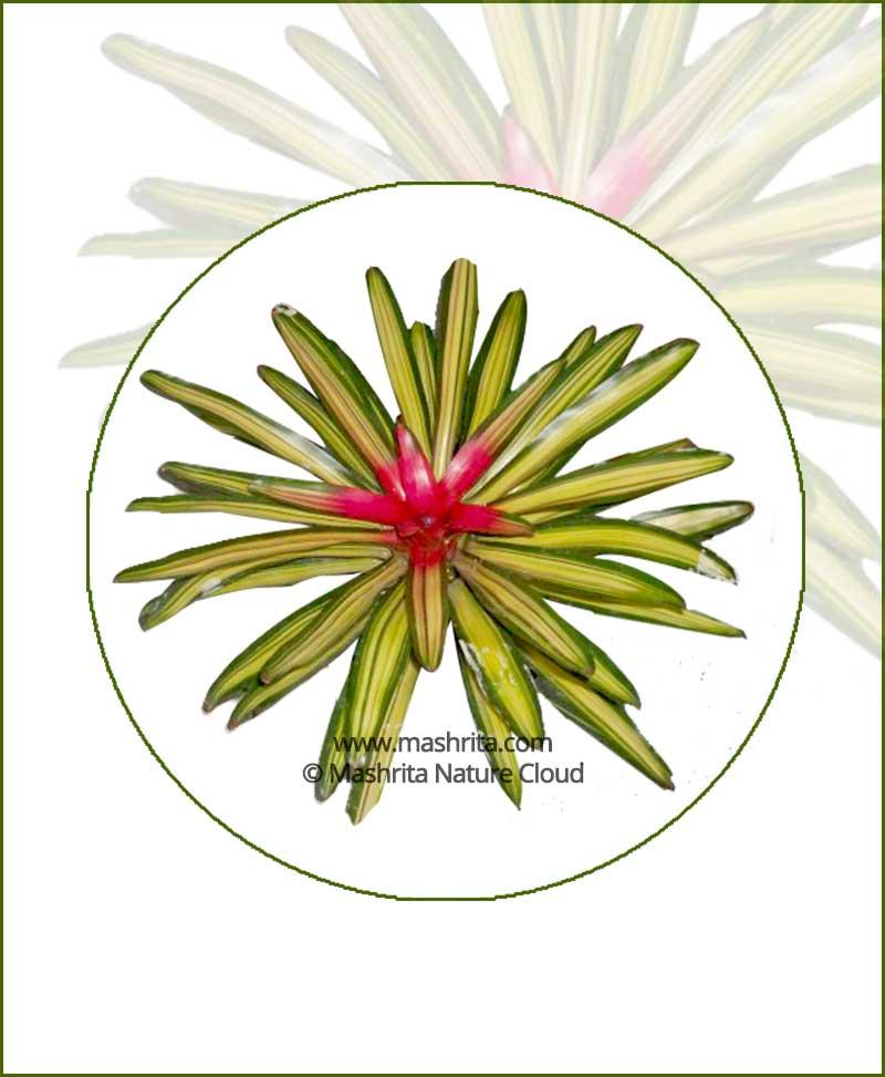 Nidularium Carolinae Marechalli Online Plant Nursery