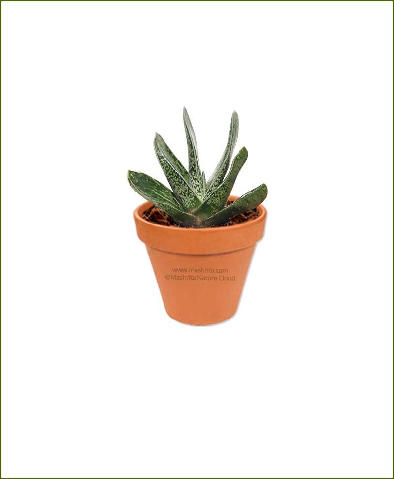 Nigricans Gasteria Online Plant Nursery