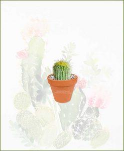 Notocactus-Leninghausii-Online-Plant-Nursery