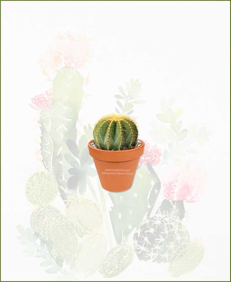 Notocactus-Magnificus-Online-Plant-Nursery