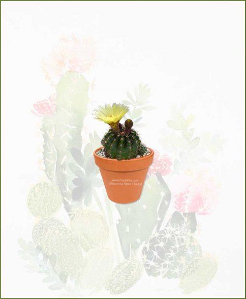 Notocactus-Ottonis-Online-Plant-Nursery