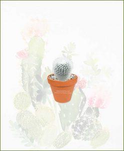 Notocactus-Rudibuenekeri-Albissimo-Online-Plant-Nursery