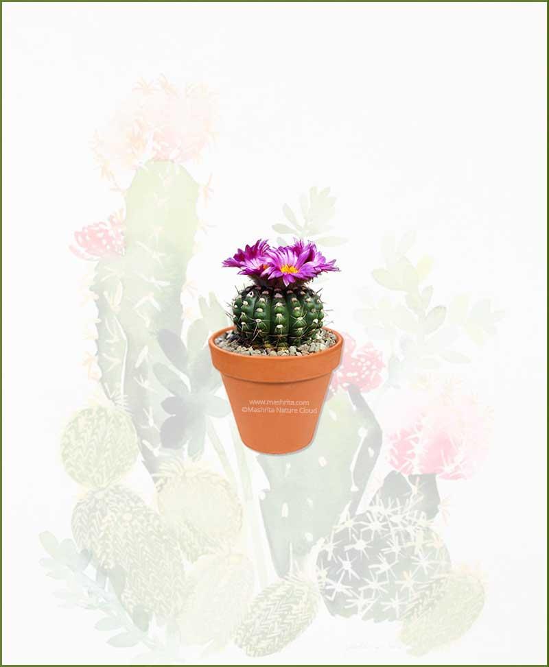 Notocactus-Uebelmannianus-Online-Plant-Nursery