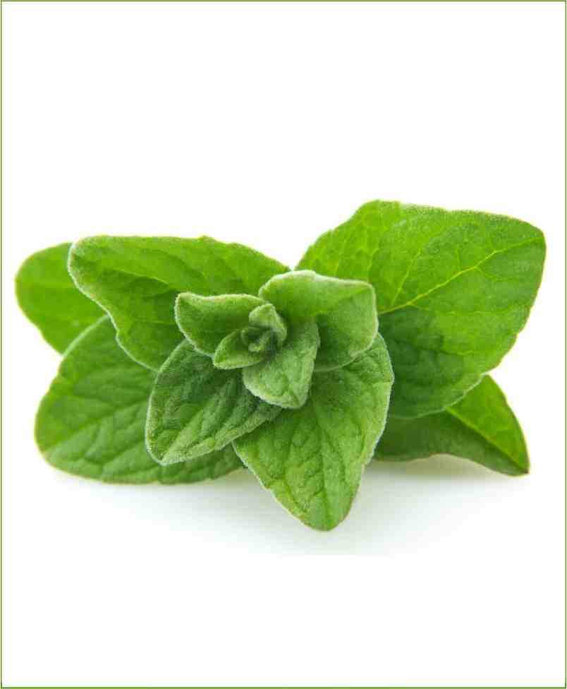 Oregano Potted Plant (Origanum Vulgare)