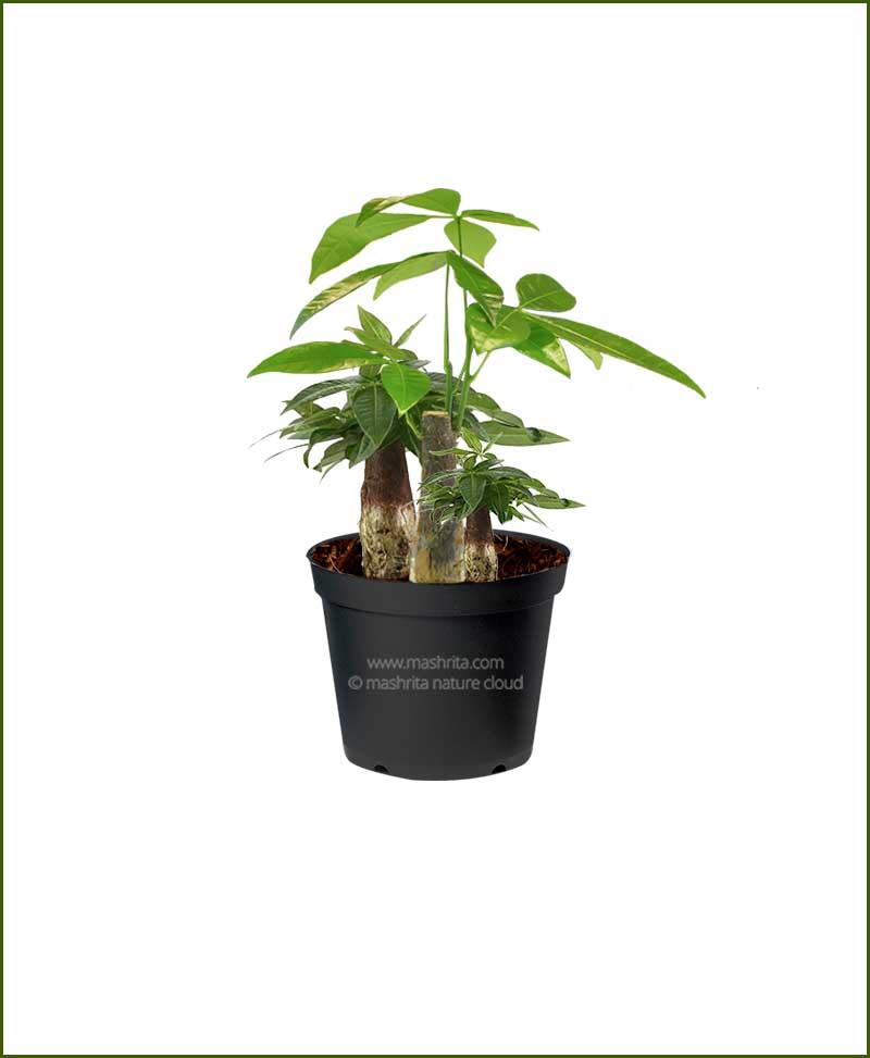 Three Money Tree (Pachira Aquatica) 25 CM