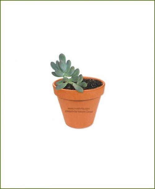 Pachyphytum_oviferum-Online-Plant-Nursery