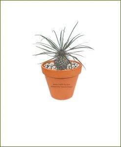 Pachypodium-Geayi-Online-Plant-Nursery