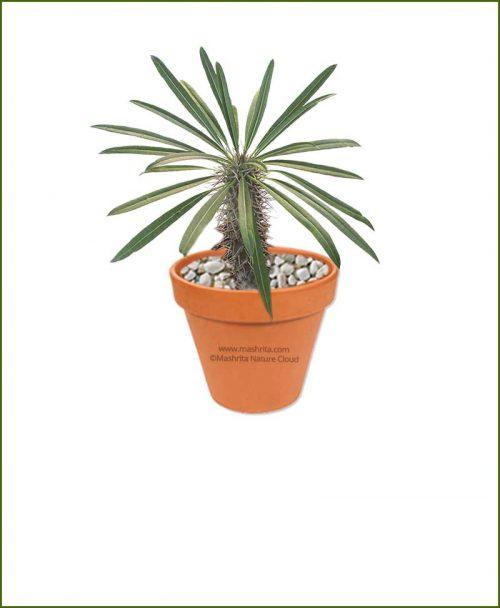 Pachypodium-Lamerei-Online-Plant-Nursery