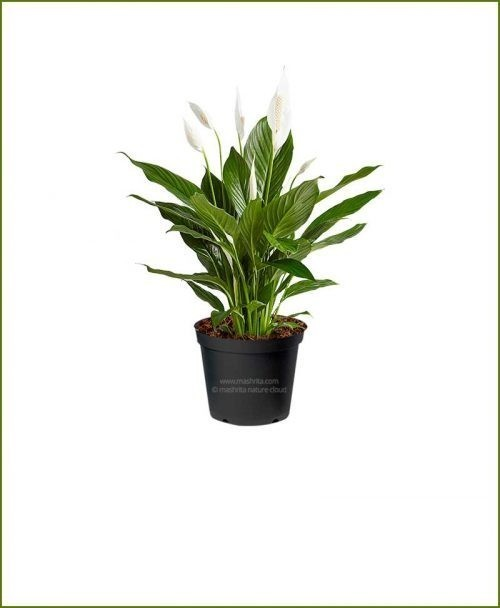 Peace Lily Petite (Spathiphyllum Petite)