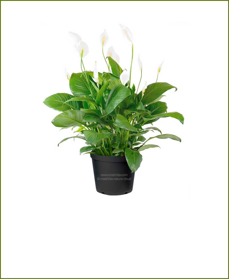 Peace lily wallisii spathiphyllum wallisii for Spathiphyllum wallisii
