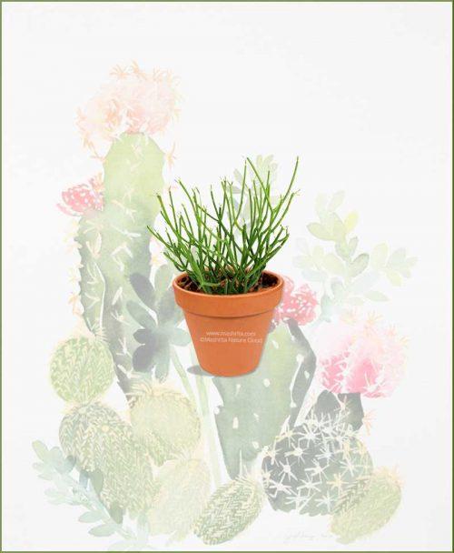 Pencil-Cactus-(Euphorbia-Tirucalli)-Online-Plant-Nursery