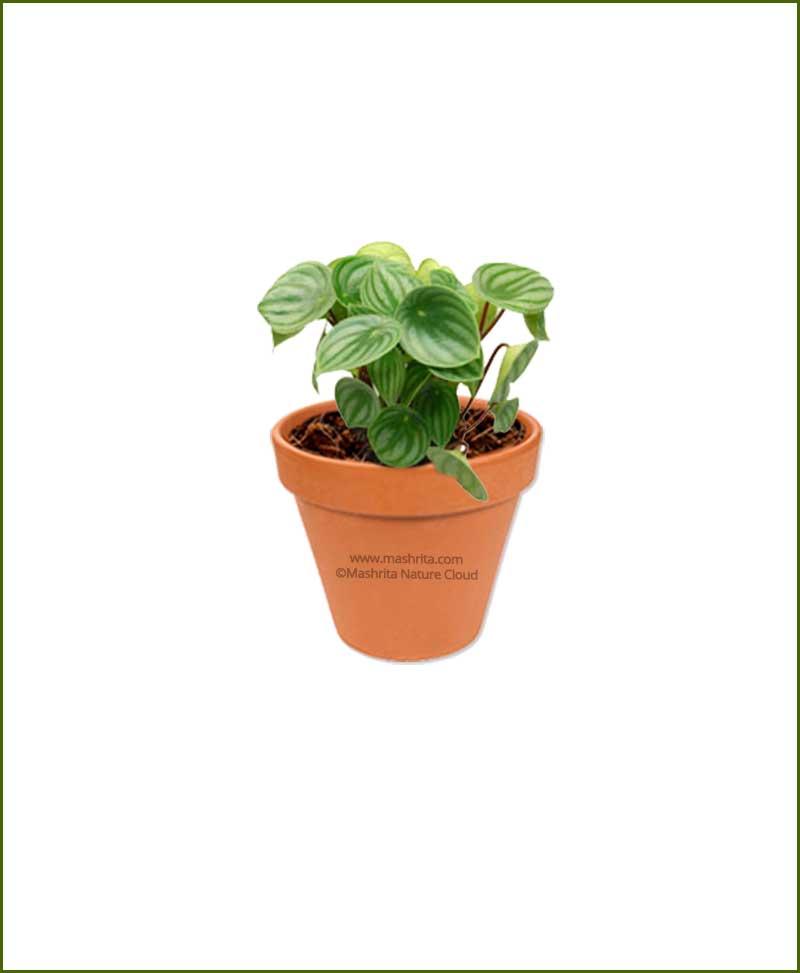 Peperomia-Argyreia-Online-Plant-Nursery
