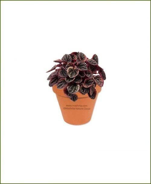 Peperomia-Carperata-Online-Plant-Nursery