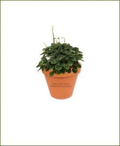 Peperomia-Hederifolia-Online-Plant-Nursery