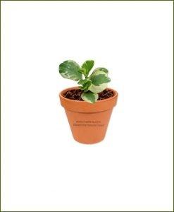 Peperomia-maPeperomia-Argyreia-Online-Plant-Nurserygnoliifolia-Variegata-Online-Plant-Nursery