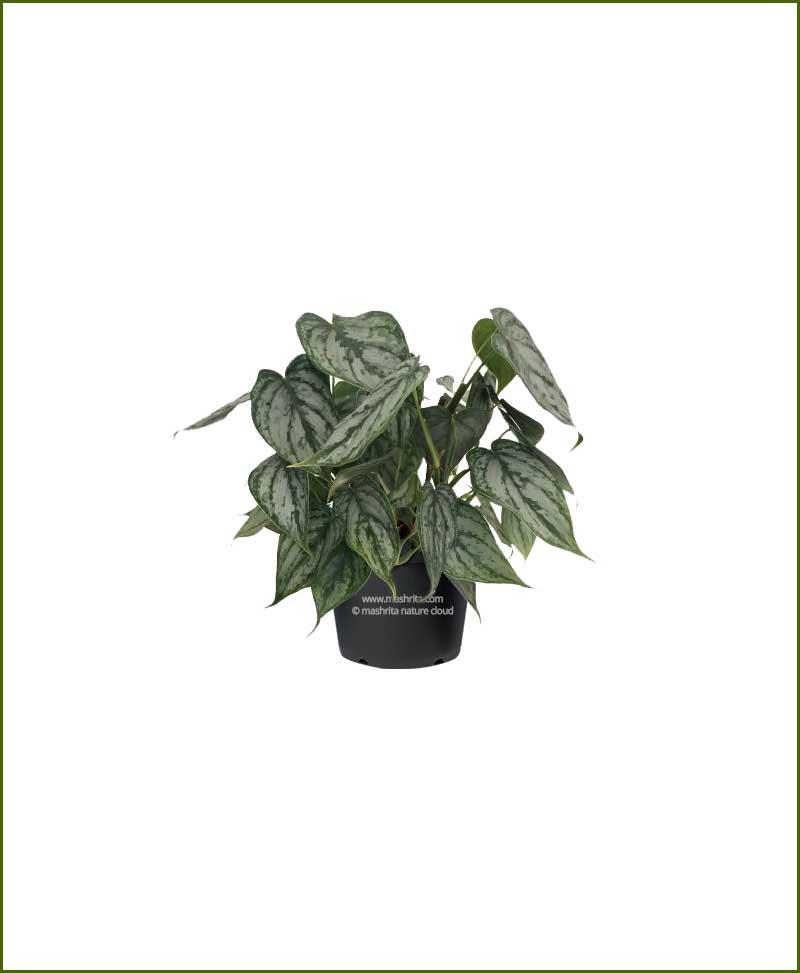 Philodendron Brandi