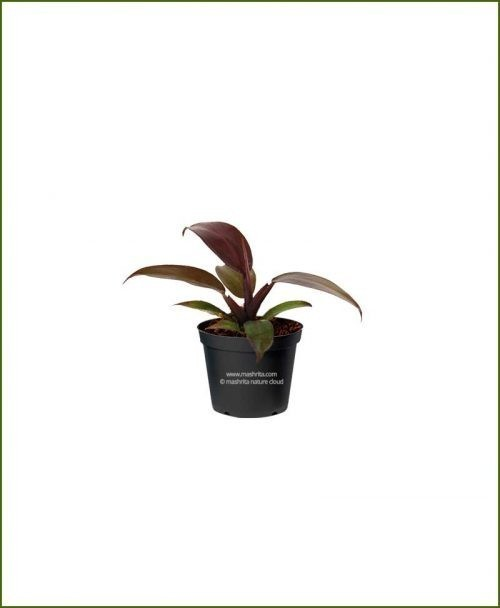 Philodendron-Burgundy_Mashrita_Nature_Cloud