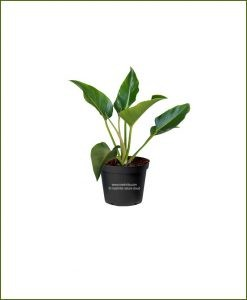 Philodendron-Congo-Green_Mashrita_Nature_Cloud