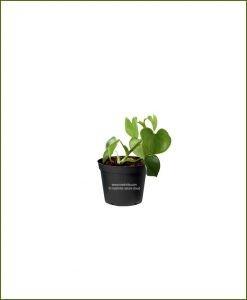 Philodendron-Grazielae_Mashrita_Nature_Cloud