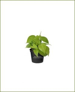 Philodendron Heartleaf Golden
