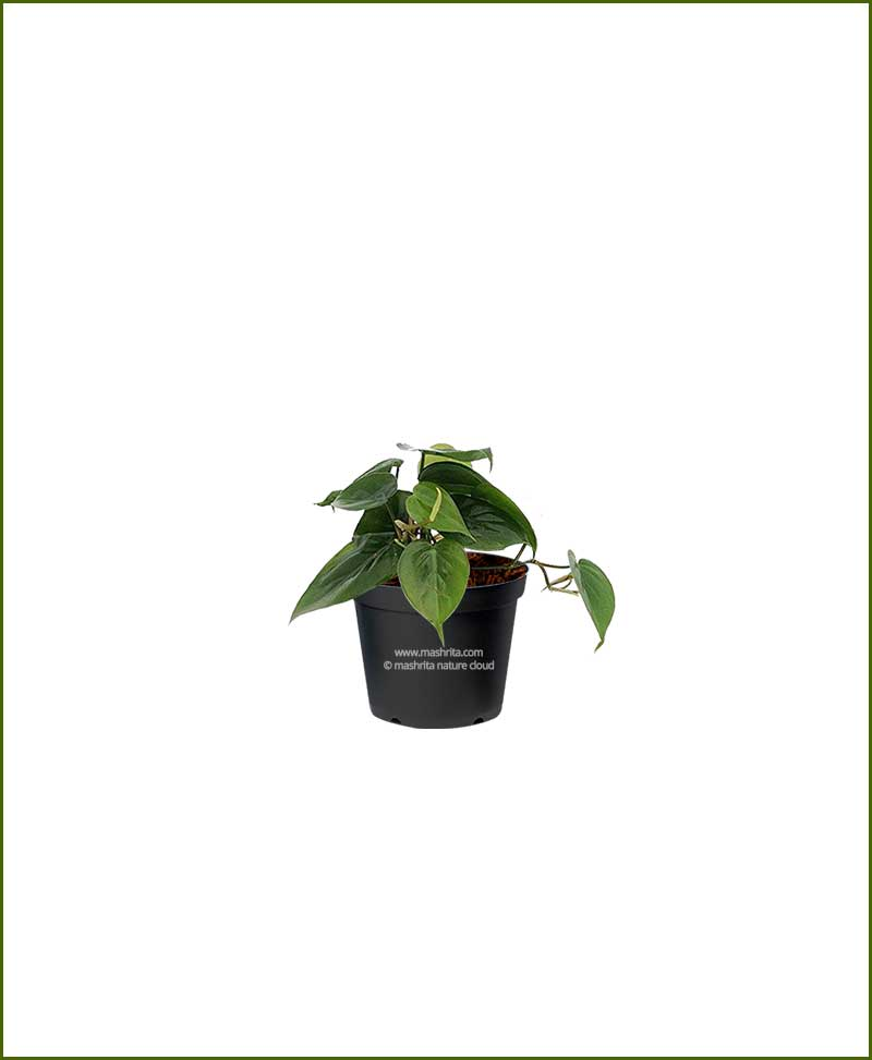 Philodendron Heartleaf Green (Heartleaf Philodendron)