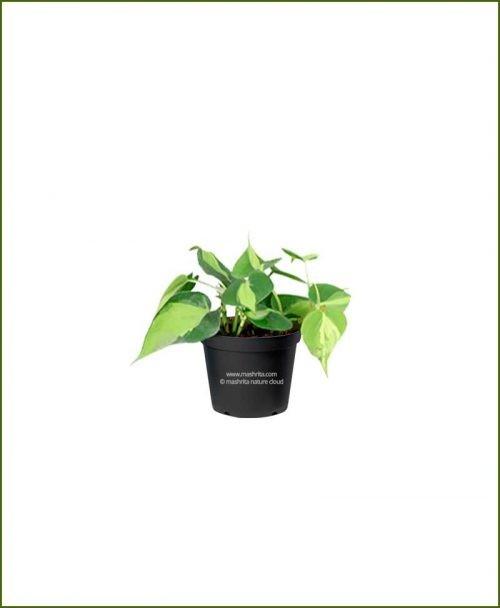 Philodendron Heartleaf Variegated (Heartleaf Philodendron)