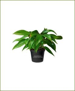Philodendron-Imbe_Mashrita_Nature_Cloud