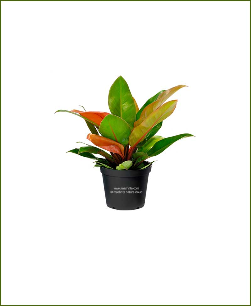 Philodendron-Prince-of-Orange_Mashrita_Nature_Cloud