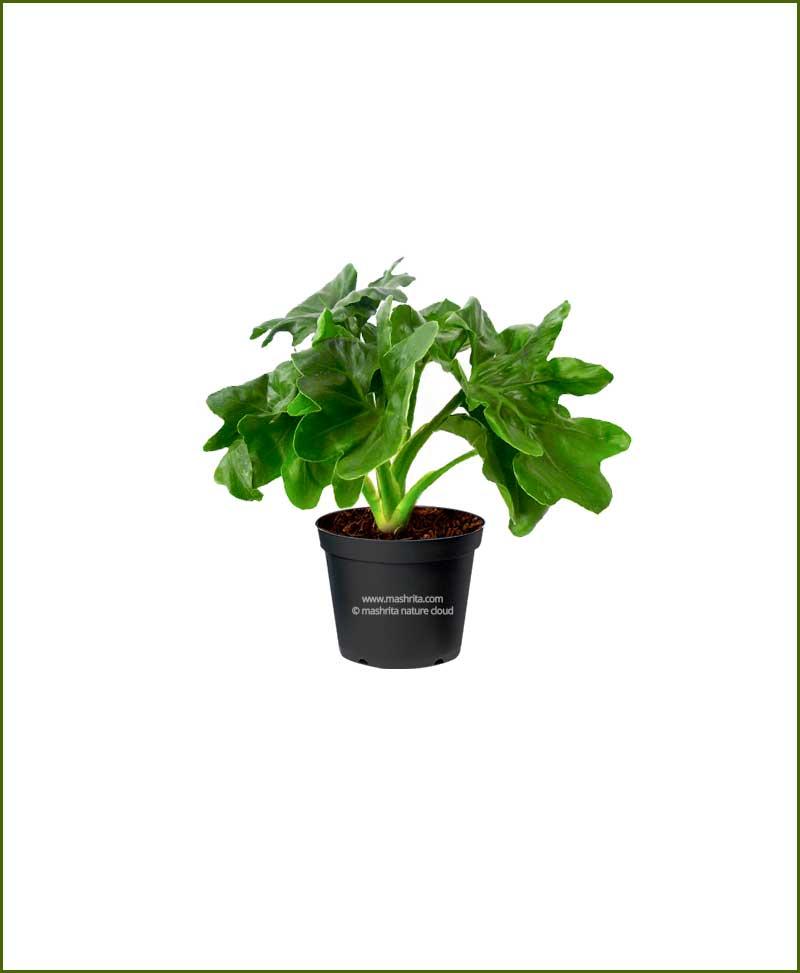 Philodendron Super Atom