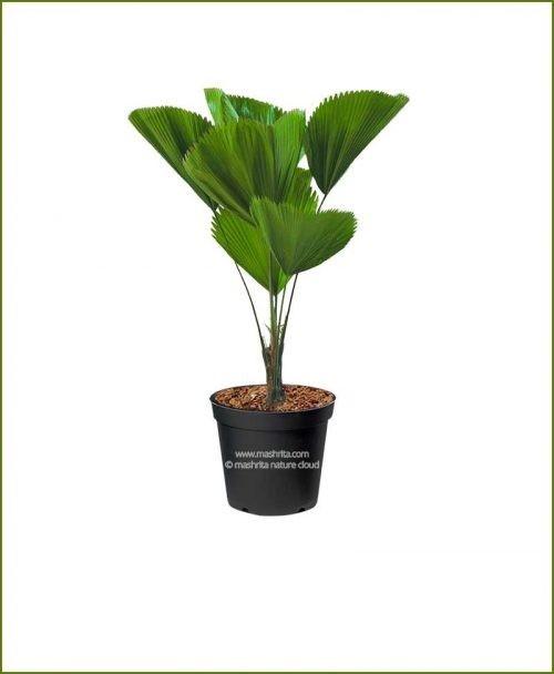 Pichodia Grandis Palm 18-Inch