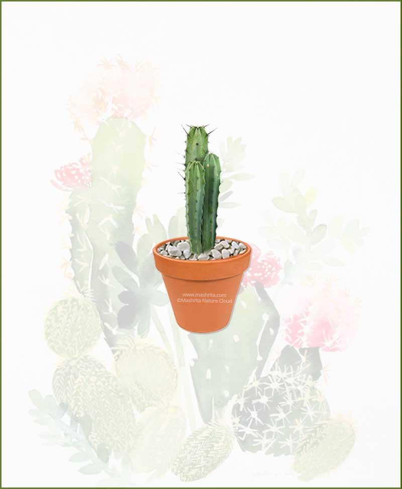 Pilosocereus-Pachycladus-Online-Plant-Nursery