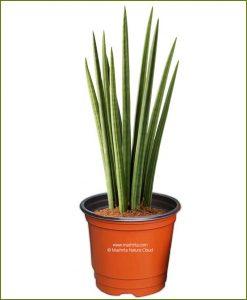 Sansevieria Cylindrica (Snake Plant)