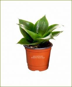 Sansevieria Hahnii Jade (Snake Plant)