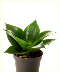 Sansevieria-Hahnii-Jade-(Snake-Plant)_Mashrita_Nature_Cloud