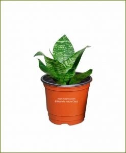Sansevieria Hahnii Silver Frost (Variegated Snake Plant)