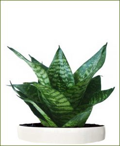 Sansevieria-Hahnii-Silver-Frost-(Snake-Plant)_Mashrita_Nature_Cloud