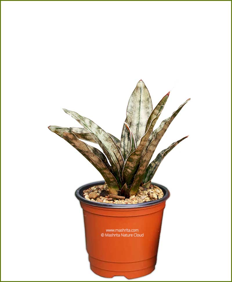 Sansevieria Kirkii (Snake Plant)