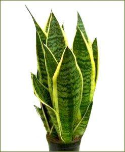 Sansevieria-Trifasciata-Futura-Superba-(Snake-Plant)__Mashrita_Nature_Cloud