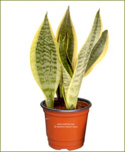 Sansevieria Trifasciata Laurentii Dwarf (Variegated Snake Plant)