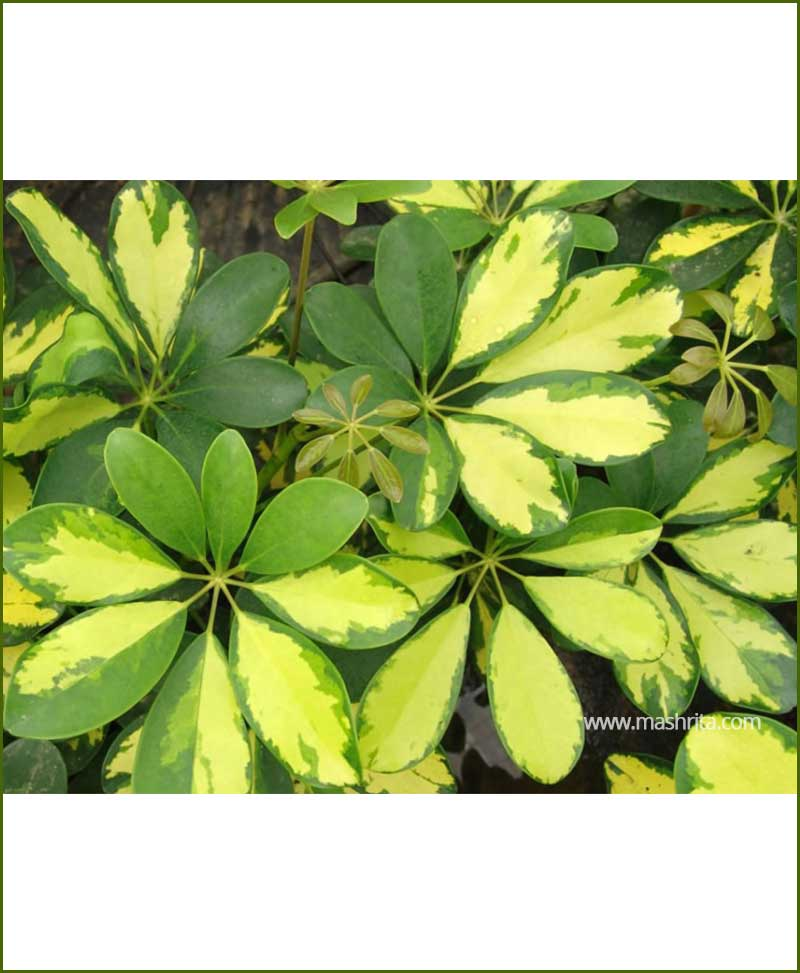 Schefflera-Gold-Capella_Mashrita_Nature_Cloud