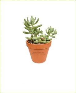 Sedum-Allantoides-Online-Plant-Nursery