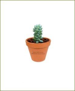 Sedum-Burrito-Online-Plant-Nursery