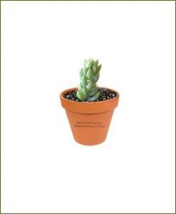 Sedum-Morganianum-Online-Plant-Nursery