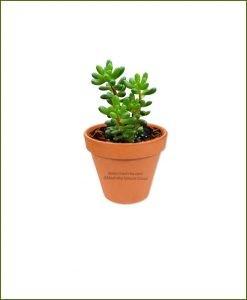 Sedum-Rubrotinctum-Online-Plant-Nursery